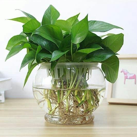 أجمل النباتات المنزلية التي تتكاثر في الماء