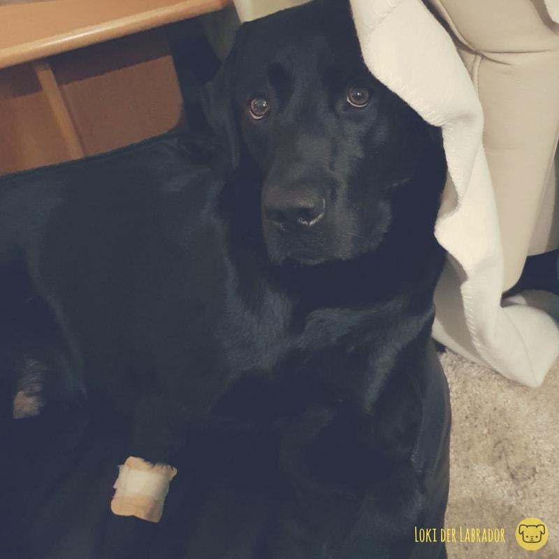 schwarzer Labrador mit Verband