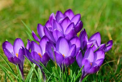 Tumbuhan Bunga Krokus: Cara Menanam dan Cara Merawatnya