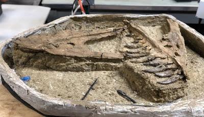 Fosil T. rex Remaja Lengkap Ditemukan di Montana
