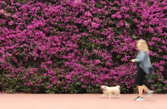 woman blurred running with dog pink flower wall
