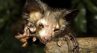O Ai-Ai ou Aye-Aye ou aie-aie - é um primata nativo, ameaçado de extinção, de Madagascar.  Noturno e arborícola, possui pelo negro e um dos seus dedos é maior, que usa para conseguir caçar larvas nos buracos das árvores. Os seus olhos são grandes e possui boa visão noturna.