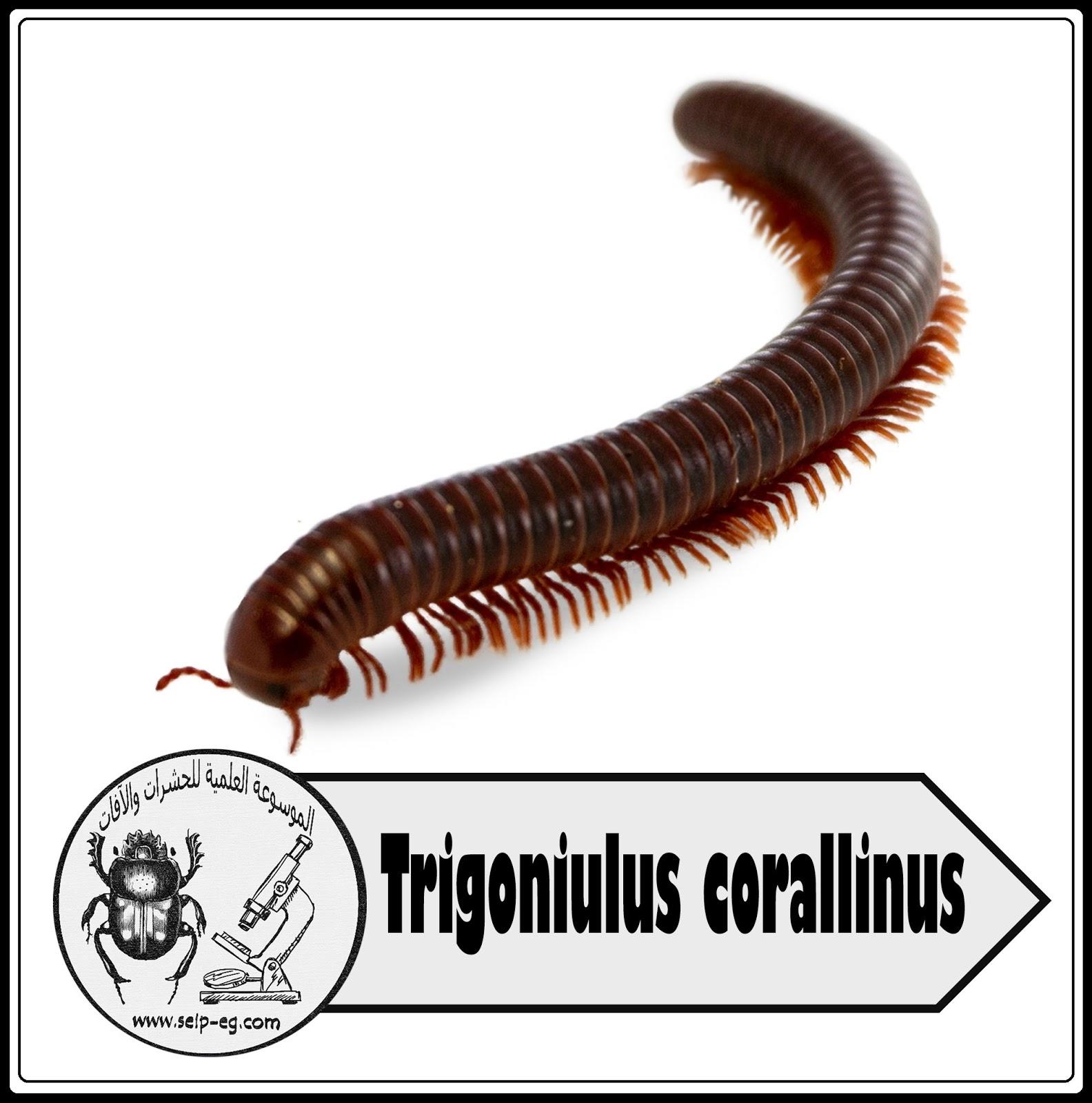 مئوية الأرجل أم أربعة وأربعين الحريشة Centipede
