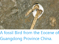 https://sciencythoughts.blogspot.com/2012/09/a-fossil-bird-from-eocene-of-guangdong.html
