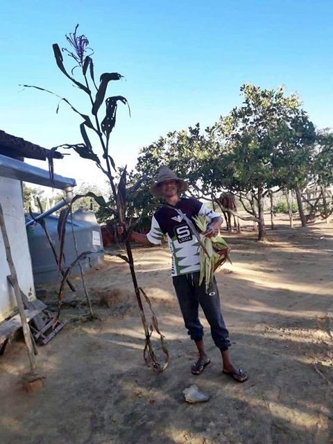 Pé de milho com mais de 2 metros no distrito de Angico