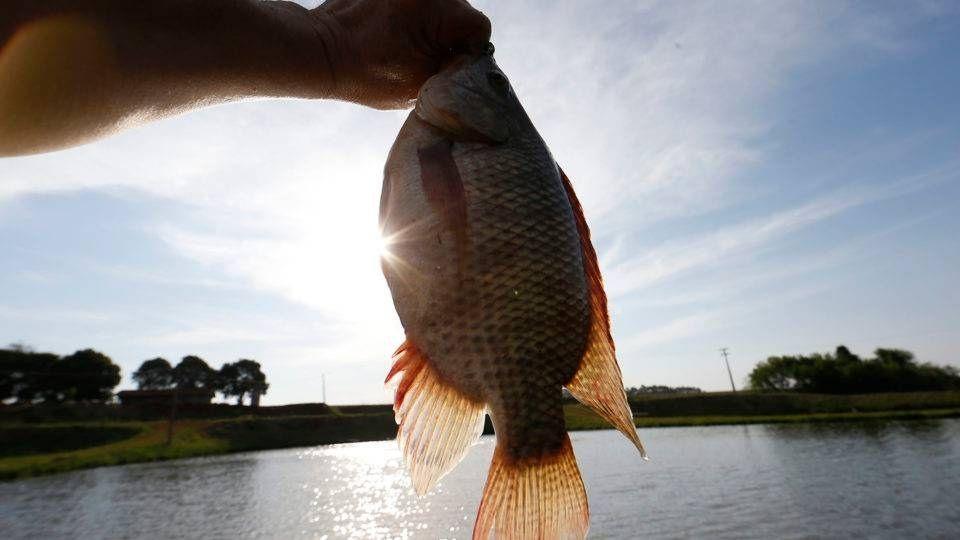 Rios do Paraná são repovoados com 500 mil peixes nativos
