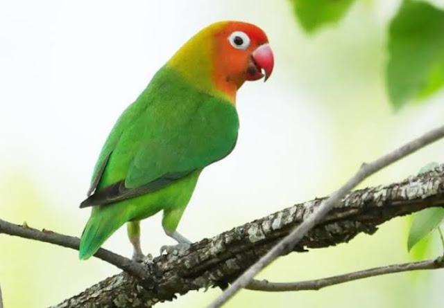 Makanan yang Paling Disukai Burung Lovebird