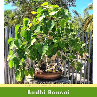 Bodhi Bonsai