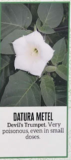 Datura Metel