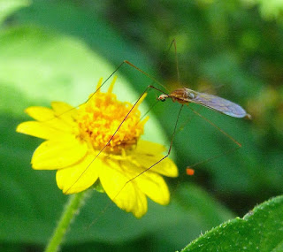 Crane Fly on a yellow flower