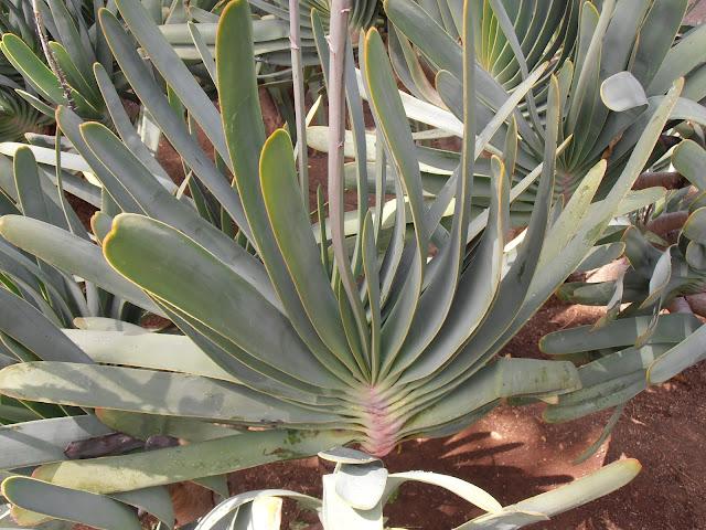 PLANTA ABANICO: Aloe plicatilis