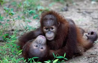 Thailand Kembalikan Orangutan Sumatra Korban Selundupan ke Indonesia