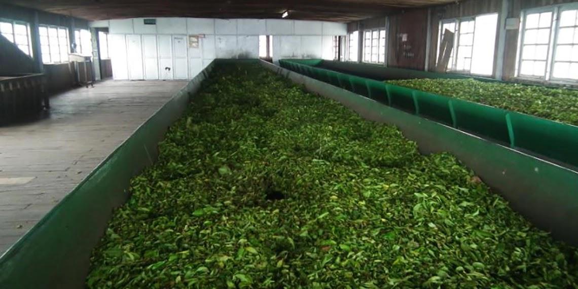 Окисление чайных листьев на фабрике Локхарта в Индии