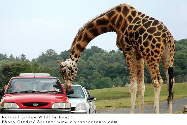 a giraffe reaching down to eat food from a driver's hand