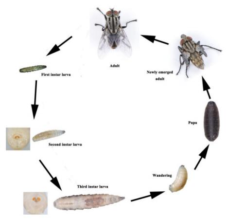 Daur hidup flesh fly Boettcherisca peregrina (Diptera: Sarcophagidae)