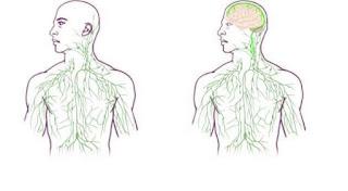 missing link mellom hjerne og immun system