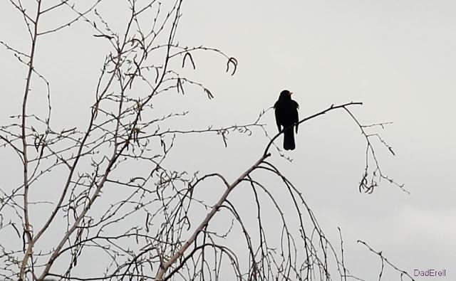 Corbeau sur une branche de bouleau