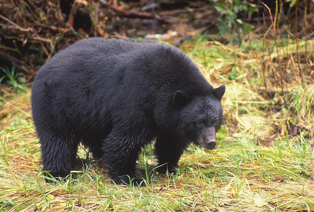 Haida Gwaii Black Bear