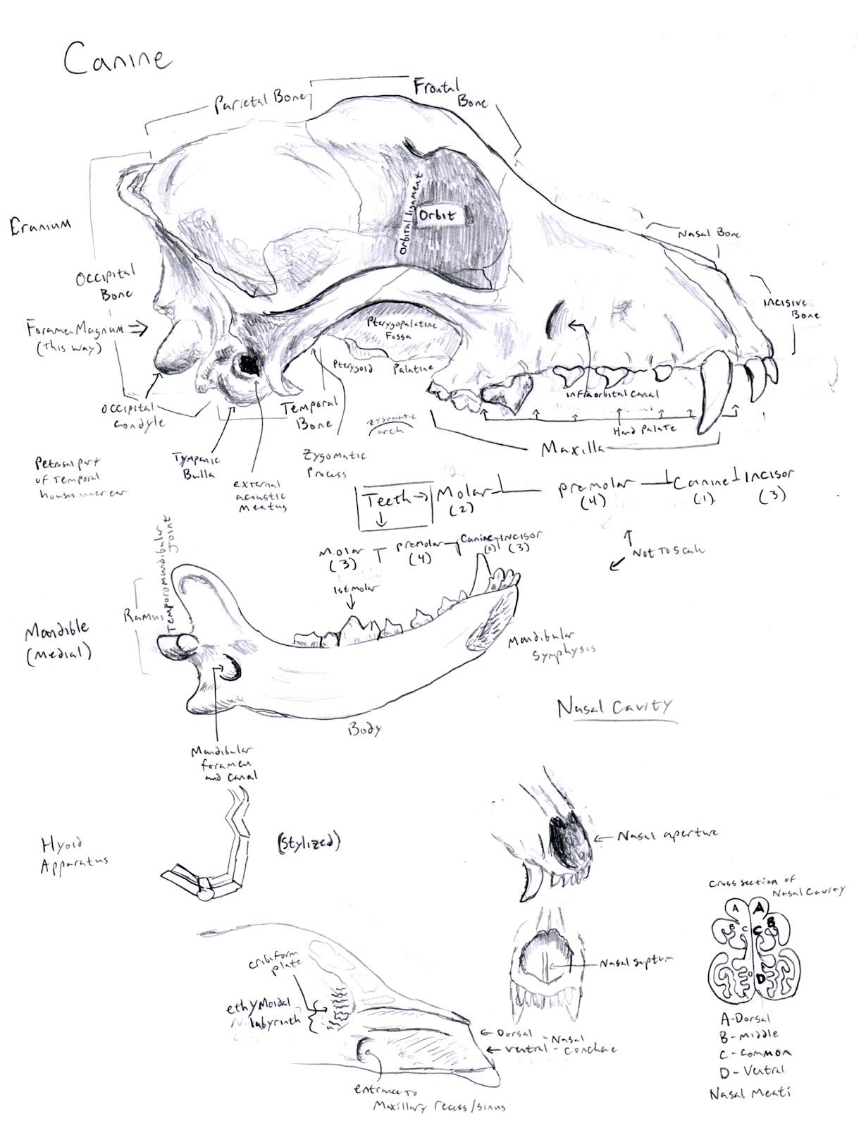 Chuck Does Art: Canine Osteology: Skull