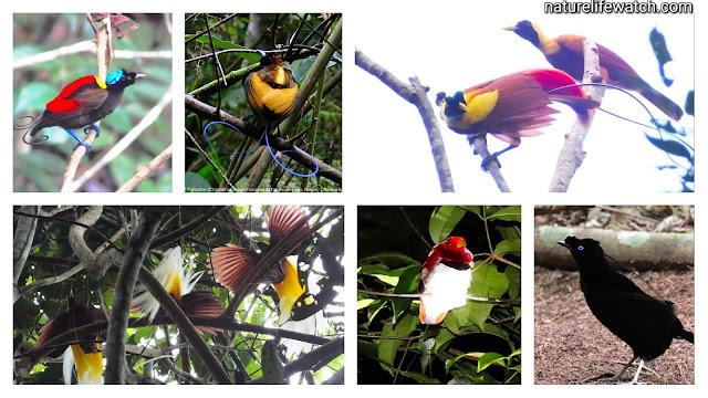 Beberapa Spesies Burung Cendrawasih