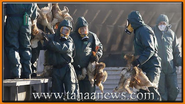 انفلونزا الطيور في السعودية وأعدام 360 الف طائر H5N8