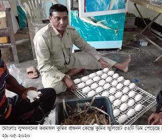 সুন্দরবনের করমজল প্রজনন কেন্দ্রে  কুমির জুলিয়েট ৫২টি ডিম পেড়েছে