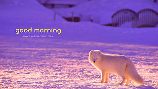 Snow fox good morning wild animal greetings.