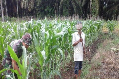 Upaya Peningkatan Produktivitas Jagung di Desa Ujung Teran, Babinsa Turut Serta Pembersihan Gulma