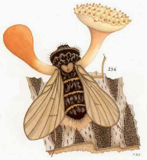 illustration of Cordyceps discoideocapitata from Illustrated Vegetable Wasps and Plant Worms in Colour