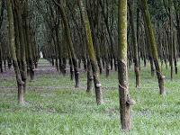Lowongan Kerja Perkebunan Karet di Sumatera Selatan