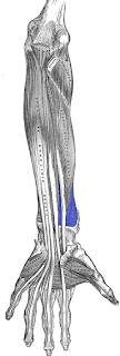 pronator quadratus muscles- by  www.learningwayeasy.com