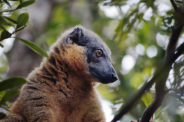 The importance of Madagascar's lowland rainforest for lemur conservation
