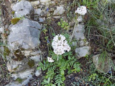Απρίλιος: Βότανα και φαρμακευτικά φυτά της Ελλάδας-Βαλεριάνα-Valeriana