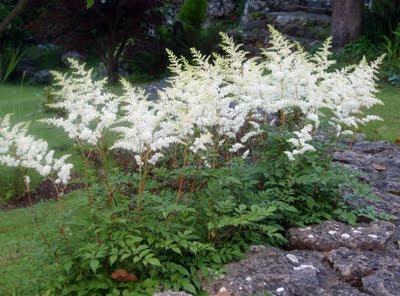 astilbes blancos en el jardín