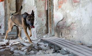 cães de salvamento em entulho