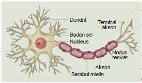Struktur dan Fungsi Jaringan Sel Saraf Neuron Pada Hewan