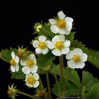 http://fotobabij.blogspot.com/2015/04/poziomka-lesna-kwiaty-fragaria-vesca.html