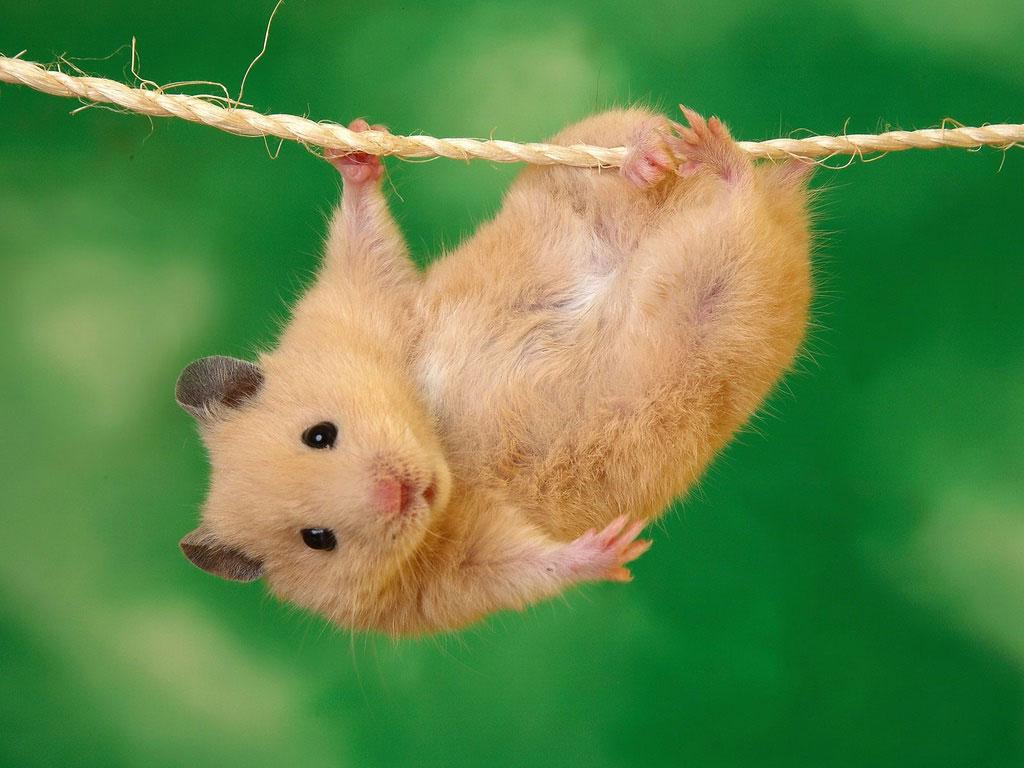 http hamster com