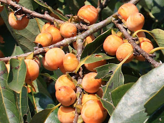 Date Plum Fruit Pictures