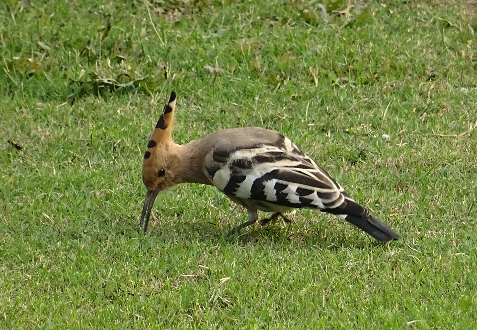 15 Interesting Facts about Hoopoe