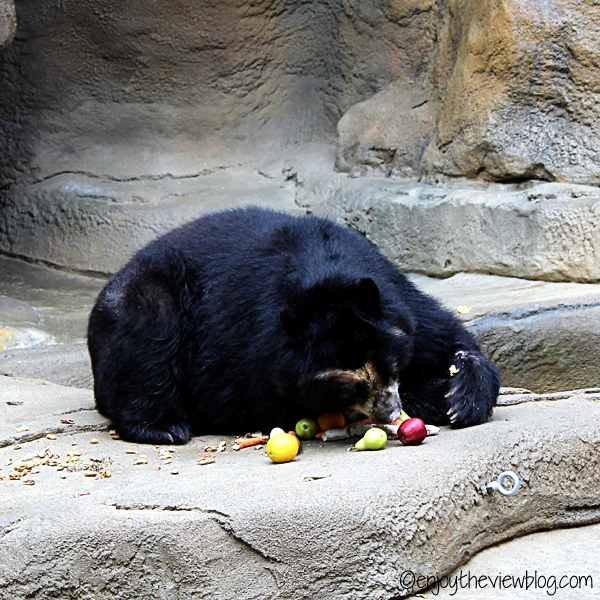 Andean bear eating fruit