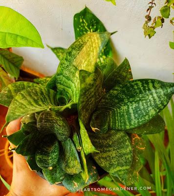 Snake plant grow