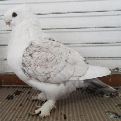 hunkari - turkish pigeons - oriental frill