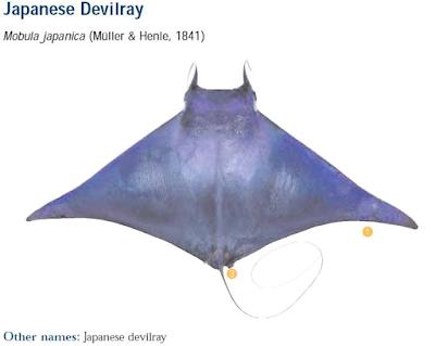 Pari Lambingan (Mobula Japanica) - Mengenal Pari Mobula Dan Jenisnya
