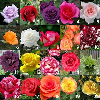 jual-bibit-bunga-mawar.jpg