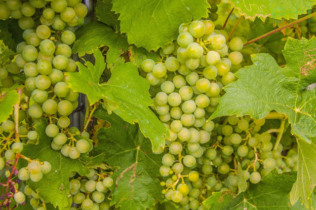 Črnko grapes