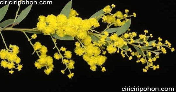ciri ciri pohon akasia prominen