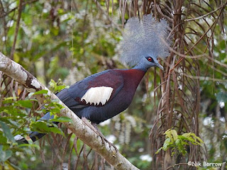 Southern Crowned Pigeon, World's Largest Pigeon, Papua Endemic Species