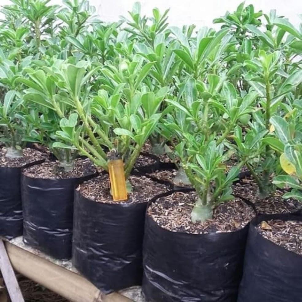 PROMO Bonsay pohon kamboja adenium cabang seribu bunga putih Bangka Belitung