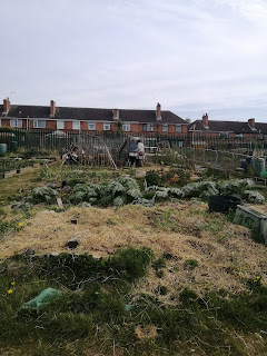 An allotment mulched with straw, a person in the background